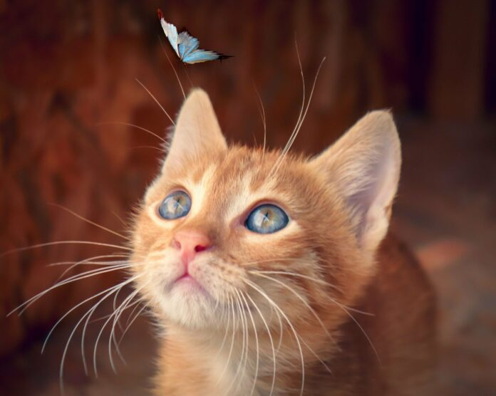 cat, butterfly, kitten